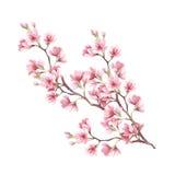 Filial das flores de cereja Ilustração da aquarela da tração da mão Imagens de Stock