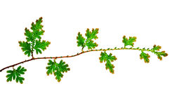 Filial das folhas verdes novas Imagem de Stock