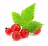 Filial das frutas da passa de Corinto vermelha isoladas imagens de stock