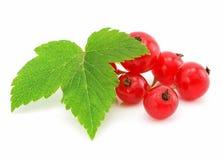 Filial das frutas da passa de Corinto vermelha isoladas imagens de stock royalty free