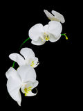 Filial das orquídeas brancas em um fundo preto Imagem de Stock