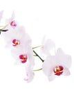 Filial das orquídeas da neve isoladas no branco Imagem de Stock