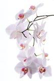 Filial das orquídeas da neve isoladas no branco Foto de Stock