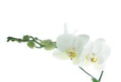 Filial das orquídeas da neve isoladas no branco Fotografia de Stock Royalty Free