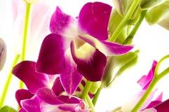 Filial das orquídeas violetas Imagens de Stock Royalty Free
