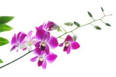 Filial das orquídeas violetas isoladas no branco Foto de Stock