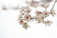 Filial de árvore de florescência Fotografia de Stock