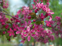 Filial de árvore de florescência Fotos de Stock Royalty Free