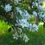 Filial de árvore de florescência Imagens de Stock Royalty Free