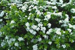 Filial de árvore de florescência Imagens de Stock