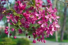 Filial de árvore de florescência Fotografia de Stock Royalty Free