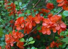 Filial de árvore de florescência Imagem de Stock Royalty Free