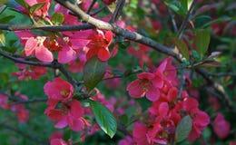Filial de árvore de florescência Imagem de Stock