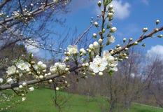 Filial de árvore de florescência da maçã Fotografia de Stock Royalty Free