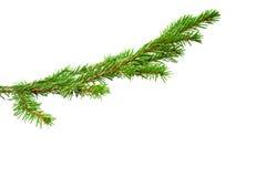 A filial de árvore do abeto Imagem de Stock