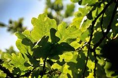 Filial de árvore do carvalho Fotografia de Stock