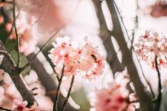 Filial de árvore de florescência da cereja fotografia de stock