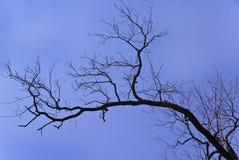Filial de árvore Leafless Fotografia de Stock Royalty Free