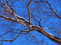 Filial de árvore Leafless Foto de Stock Royalty Free