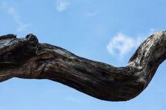 Filial de árvore seca Fotos de Stock Royalty Free
