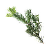 Filial de árvore Spruce Fotos de Stock