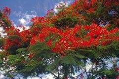 A filial de árvore vermelha tropical da flama sae da flor Fotos de Stock