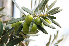 Filial de azeitonas verdes Fotos de Stock Royalty Free