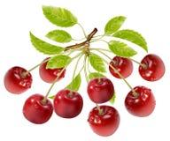 Filial de cerejas maduras com gotas e licença da água Imagem de Stock Royalty Free