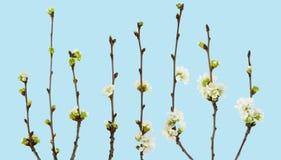 Filial de flores da cereja Ramo da cereja com flores e botões no fundo azul com trajeto de grampeamento Foto de Stock Royalty Free