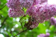 Filial de flores do lilac Imagem de Stock