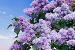 Filial de flores do lilac Fotografia de Stock Royalty Free