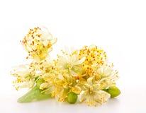 Filial de flores do linden foto de stock royalty free
