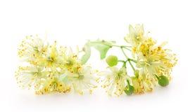 Filial de flores do linden fotos de stock royalty free