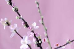 Filial de flores do pêssego Fotografia de Stock Royalty Free