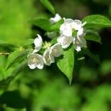 Filial de florescência bonita do jasmim Fotos de Stock Royalty Free