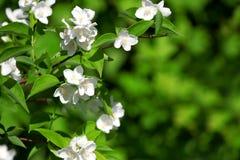 Filial de florescência bonita do jasmim Fotografia de Stock