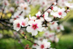 Filial de florescência da árvore de amêndoas Fotos de Stock Royalty Free