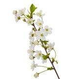 Filial de florescência da cereja Fotos de Stock