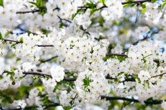 Filial de florescência da cereja Foto de Stock