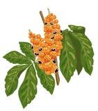 Filial de Guarana com fruta e folhas. ilustração royalty free