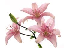 Filial de lírios cor-de-rosa Imagens de Stock