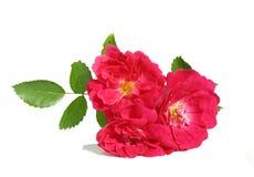 Filial de Rosa Imagens de Stock