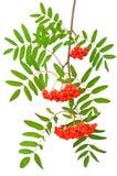 Filial de rowanberries vermelhos Imagem de Stock