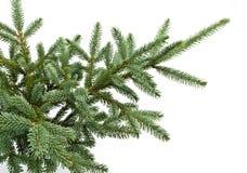 Filial de árvore do abeto isolada no branco Imagens de Stock