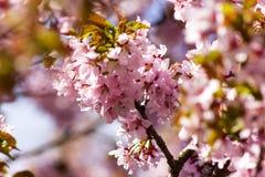 Filial de sakura Imagem de Stock