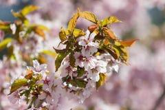 Filial de sakura Imagens de Stock