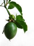 Filial de um passionflower com uma grande fruta Fotografia de Stock