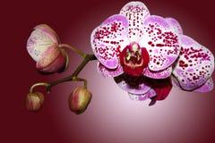 Filial de uma orquídea do beautifull Fotografia de Stock