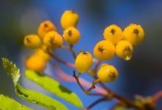 Filial de uma Rowan-árvore de amadurecimento fotografia de stock royalty free