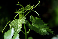 Filial de uma vinha Foto de Stock Royalty Free